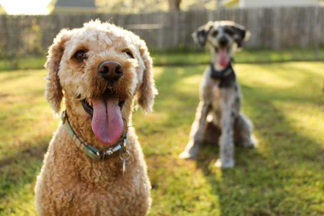 Image of two attentive dogs